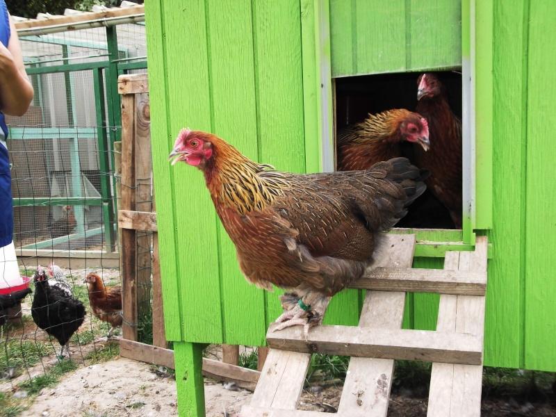 poulette 4 mois Dscf0311