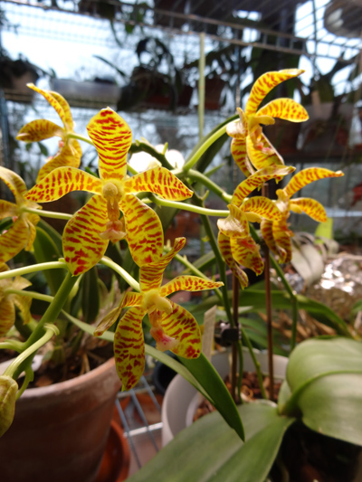 Phalaenopsis - hybrides primaires - Page 3 Phalae10