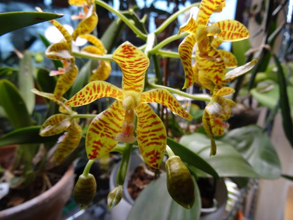 Phalaenopsis - hybrides primaires - Page 3 Phalae11