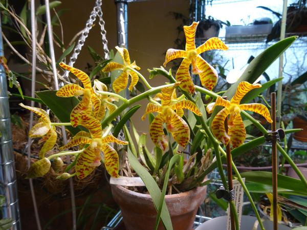 Phalaenopsis - hybrides primaires - Page 3 Phalae12
