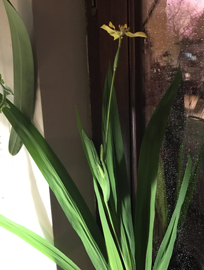 Trimezia steyermarkii Trimez11