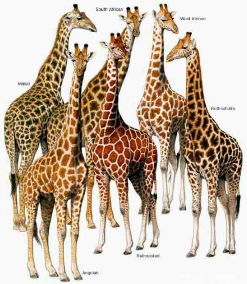 Southlands Replicas Giraff12
