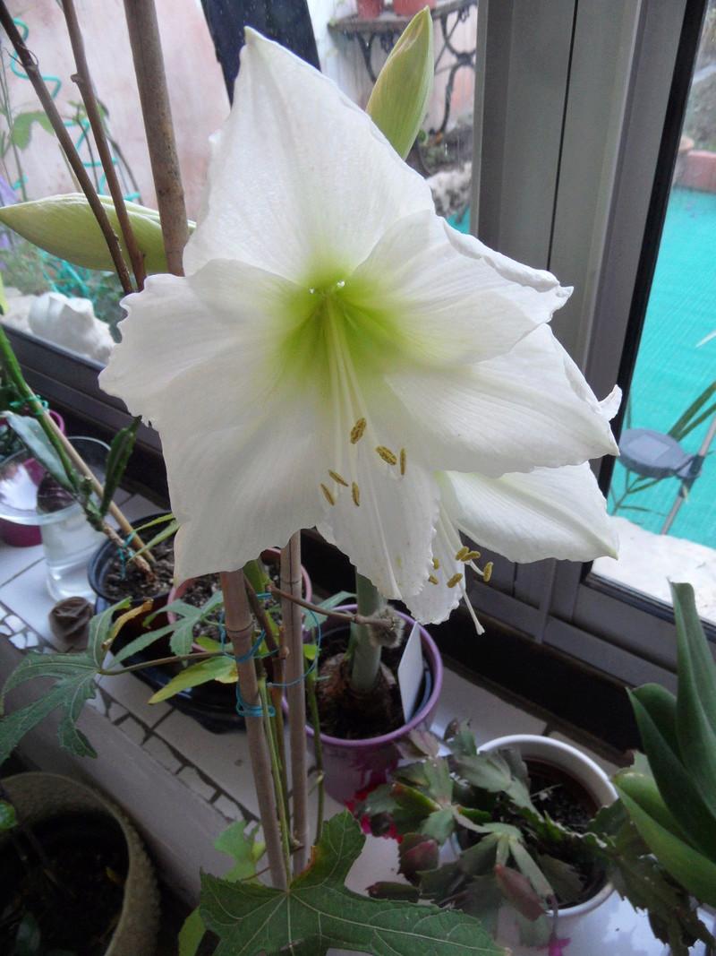 Amaryllis (hippeastrum) -culture, entretien, floraison - Page 10 00110