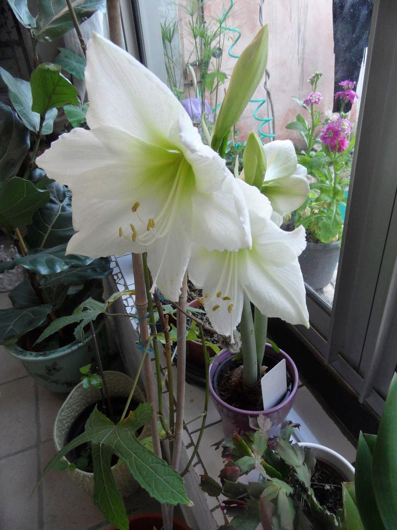 Amaryllis (hippeastrum) -culture, entretien, floraison - Page 10 00210