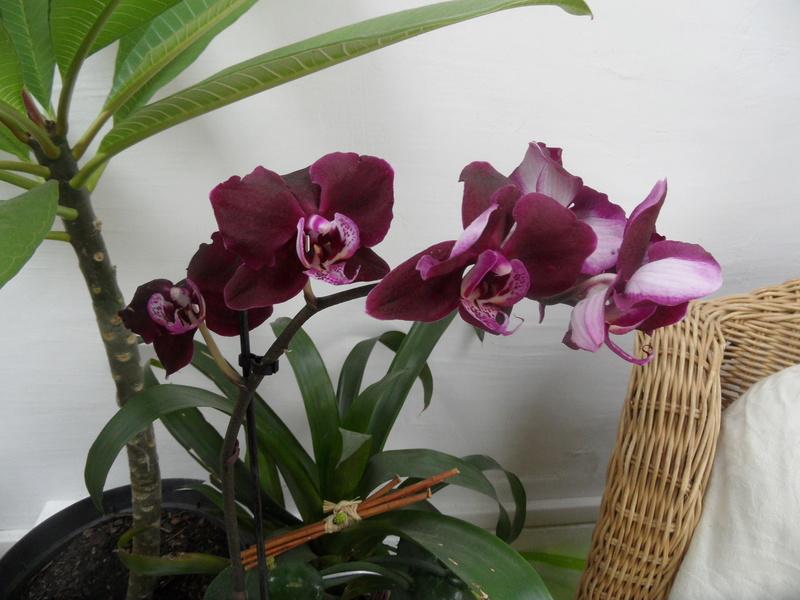 floraisons des orchidées - Page 41 06510
