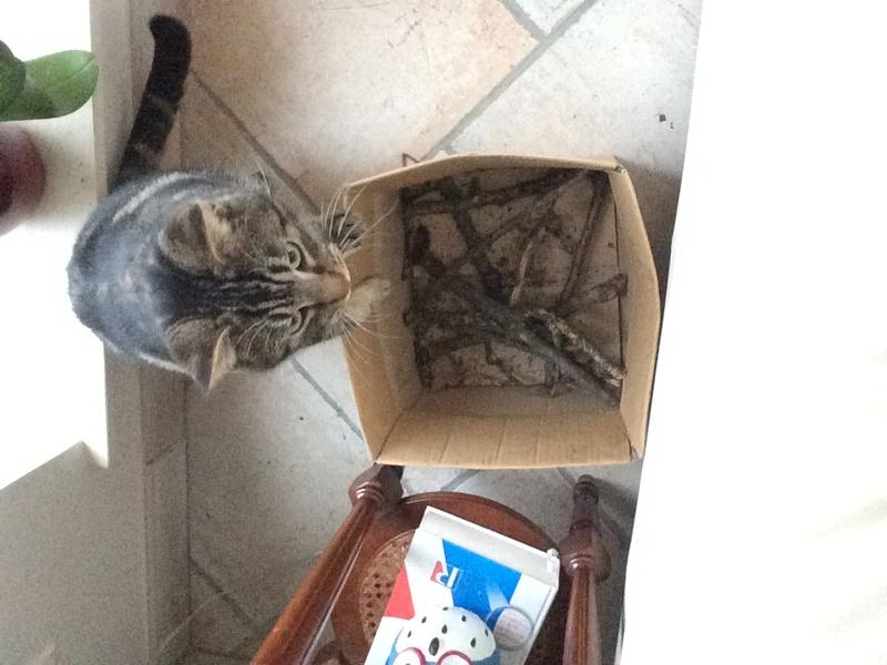 GASTON, splendide chat mâle marbré d'un an et demi super câlin Image111