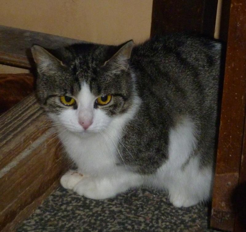 MELODIE, très belle petite chatte de 6 mois blanche et tigrée P1030710