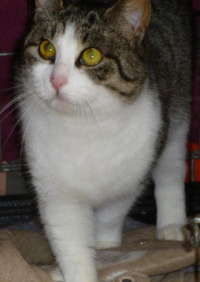 MELODIE, très belle petite chatte de 6 mois blanche et tigrée P1030812