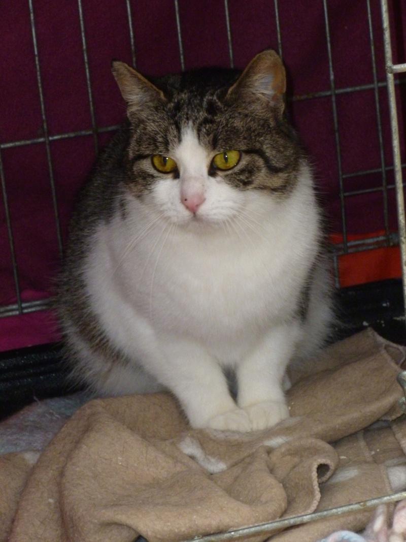 MELODIE, très belle petite chatte de 6 mois blanche et tigrée P1030813