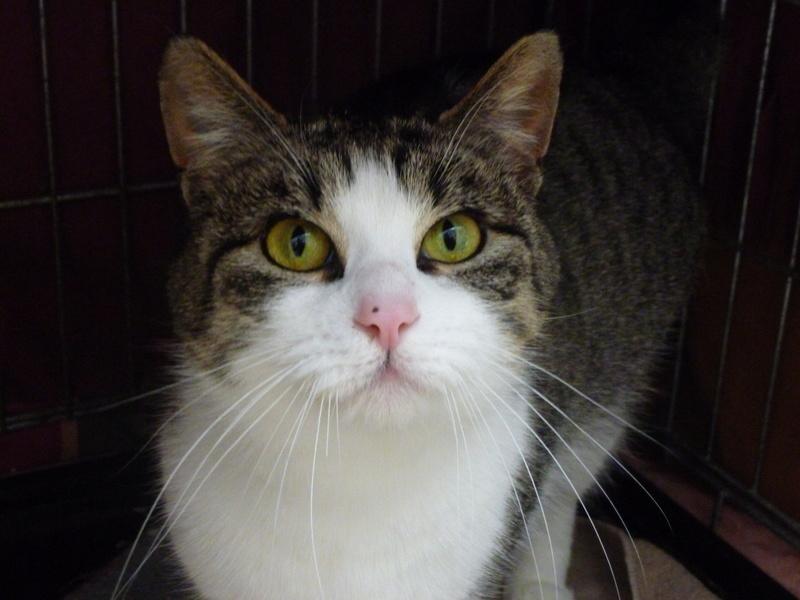 MELODIE, très belle petite chatte de 6 mois blanche et tigrée P1030815