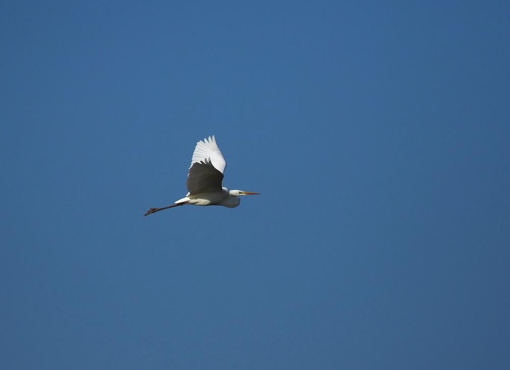 Oiseau blanc P2130513