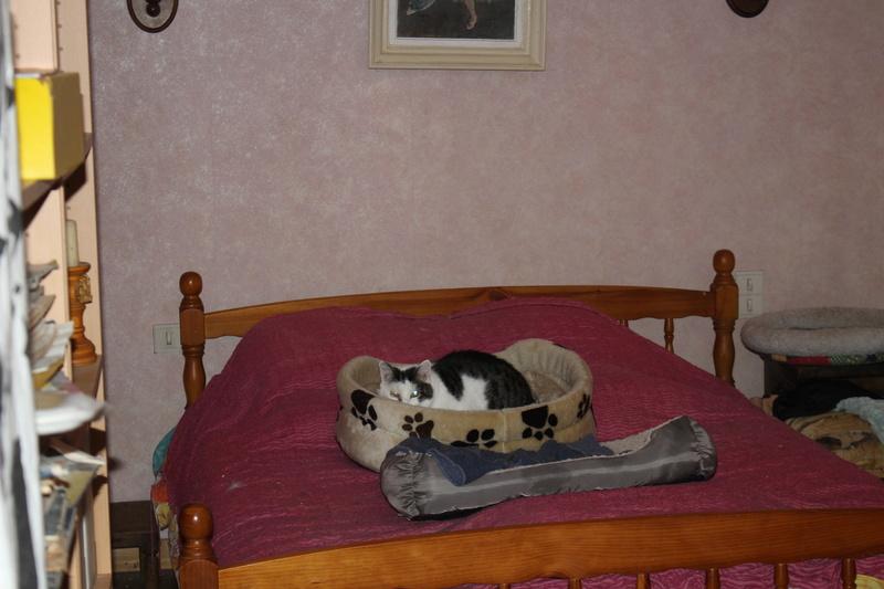 PEPITE - Mâle- Européen tigré gris et blanc - 02/04/2011 - 250269604906114 -  FIV+ - Page 3 Img_3614