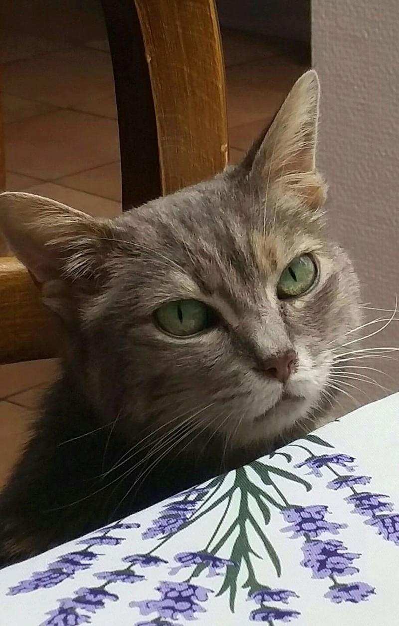 Grisette, femelle tigrée grise et fauve, née le 1er janvier 2011 - Page 5 15440410