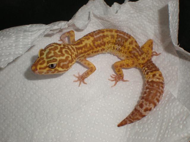mes gecko léopard couple Pa190011
