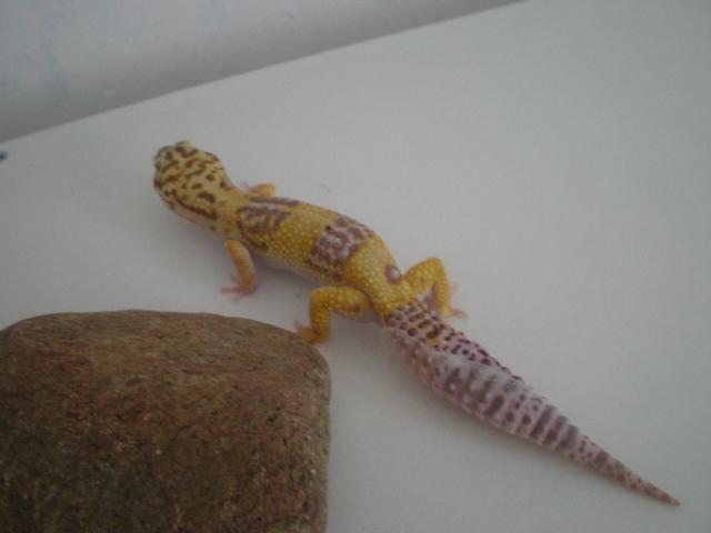 mes gecko léopard couple Pa200013