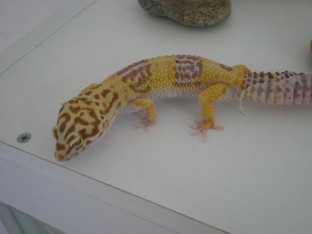 mes gecko léopard couple Pa200015