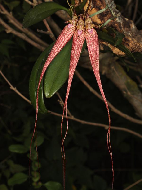 Bulbophyllum Bulbop11