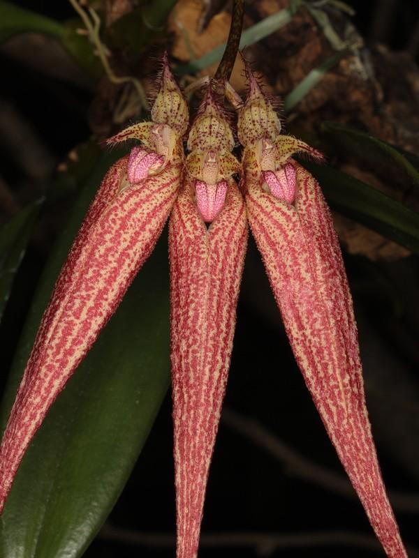Bulbophyllum Bulbop12