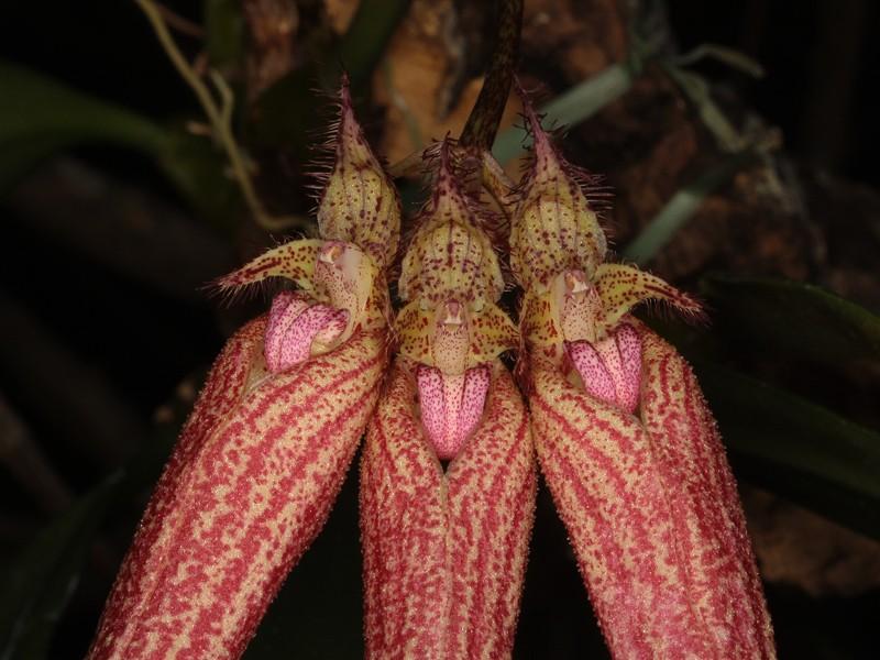 Bulbophyllum Bulbop13
