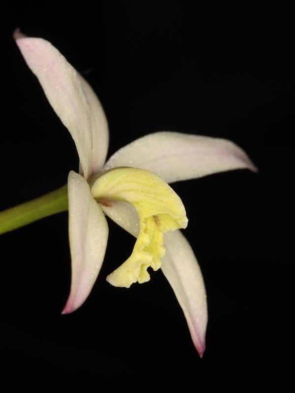 Steinlaelie und Sektion harpophyllae - Seite 3 Laelia26