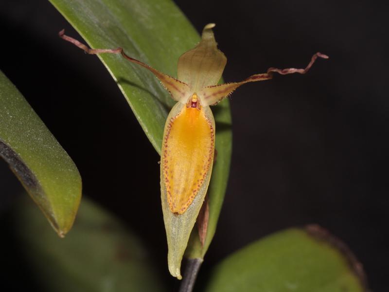 Pleurothallis hemirhoda Pleuro10