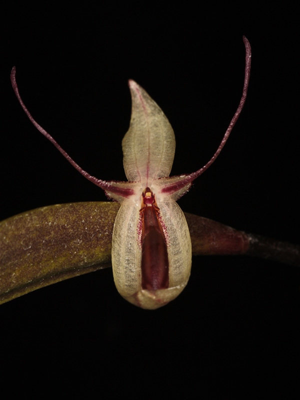 Pleurothallis hemirhoda Pleuro11
