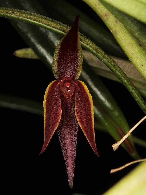 Pleurothallis allenii Pleuro12