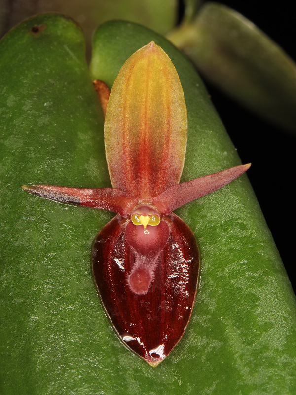 Pleurothallis ascera Pleuro13