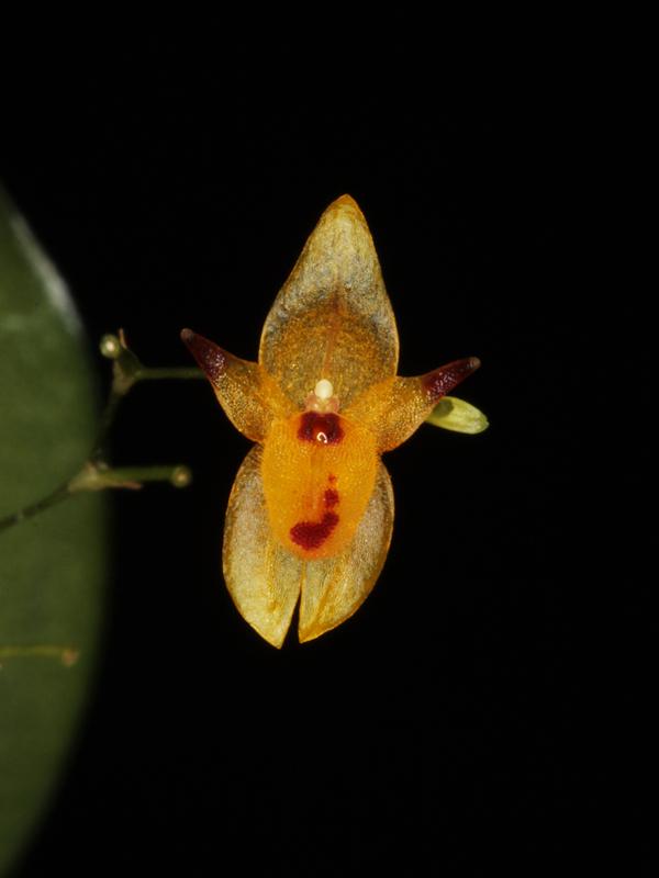 Pleurothallis rubella Pleuro15