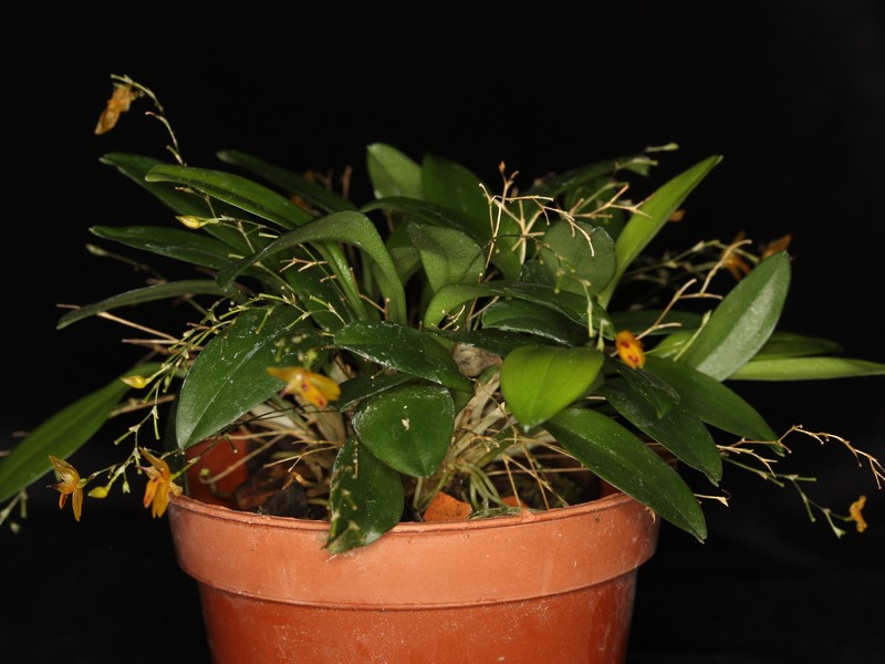 Pleurothallis rubella Pleuro16