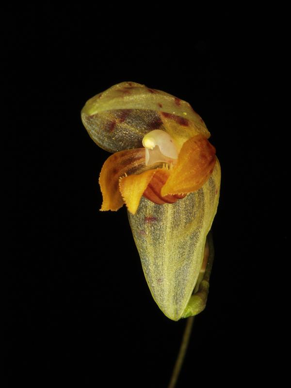 Pleurothallis janetiae Pleuro20