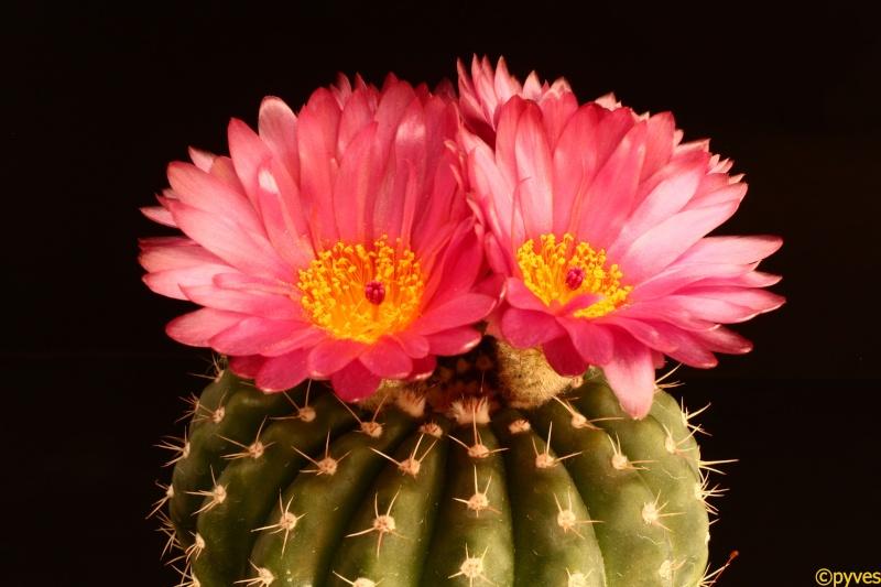 Notcactus ottonis cv.venclu (2) Notoca13
