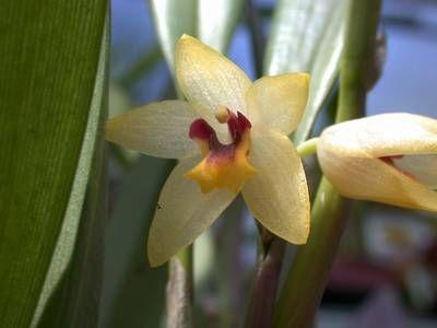 Octomeria grandiflora Octome10