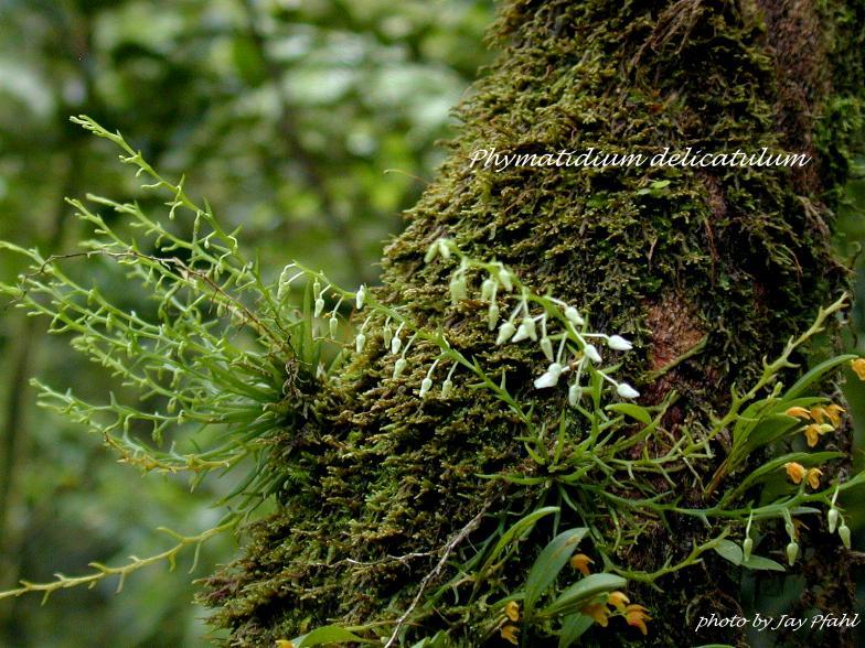 Die Gattung Phymatidium und Phymatidium falcifolium und delicatulum im Speziellen Phymat10