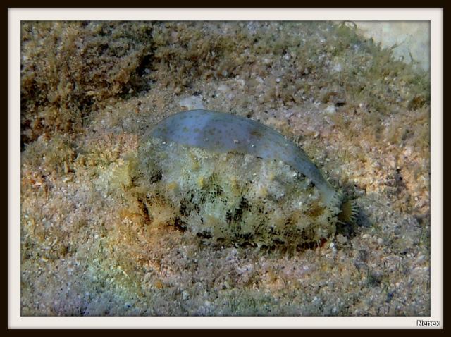 Erronea errones - (Linnaeus, 1758) - Live P6150011