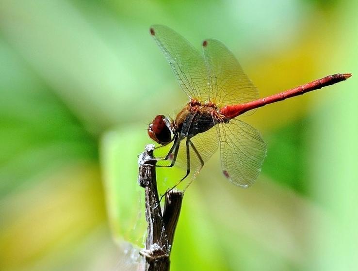 Libelle rouge 0151610