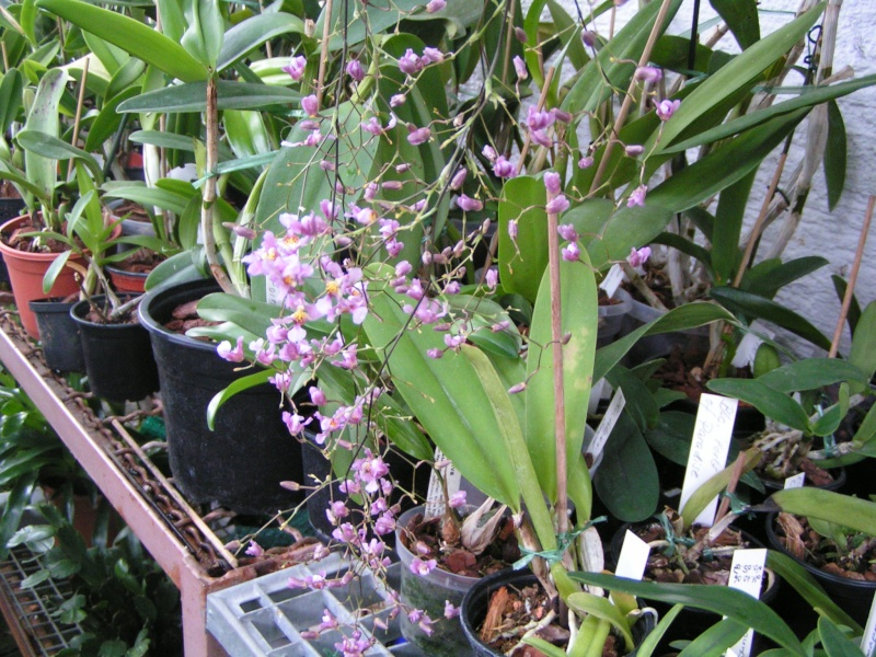 Oncidium sotoanum (syn. Onc.  ornithorhynchum hort.) Knosp_10