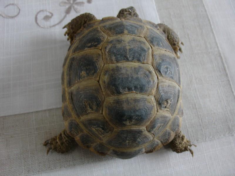 mâle, femelle et souche de la tortue des steppes Dsc04219