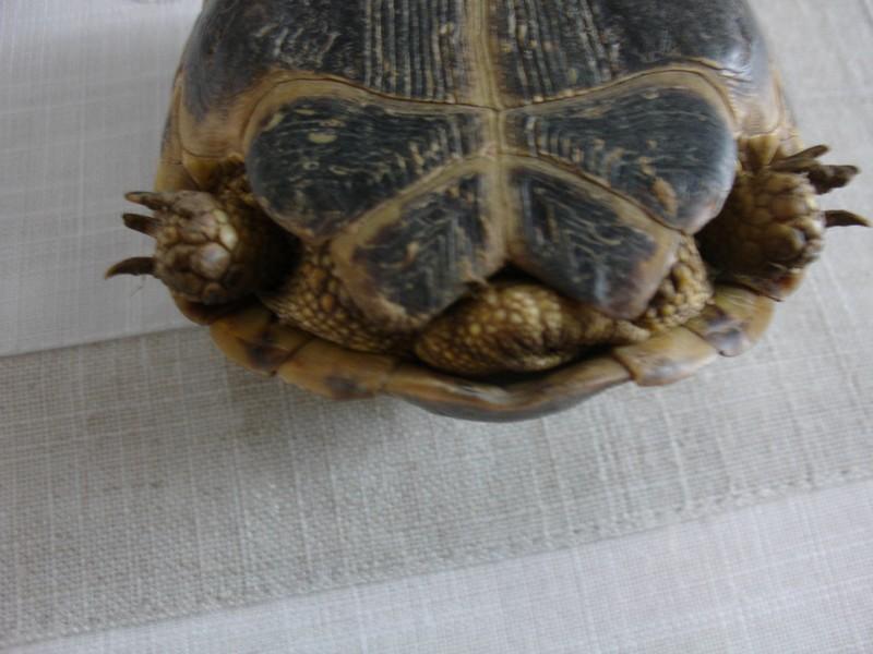 mâle, femelle et souche de la tortue des steppes Dsc04220