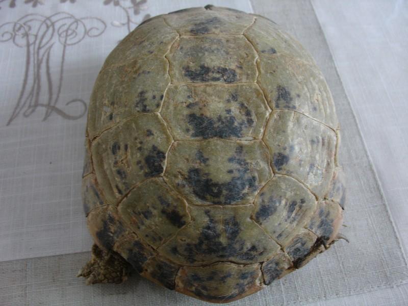 mâle, femelle et souche de la tortue des steppes Dsc04221