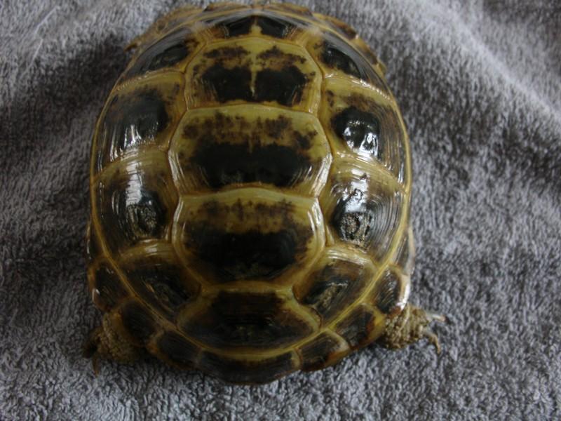 mâle, femelle et souche de la tortue des steppes Dsc04223