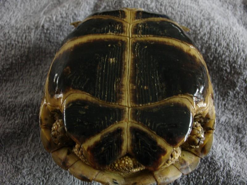 mâle, femelle et souche de la tortue des steppes Dsc04225
