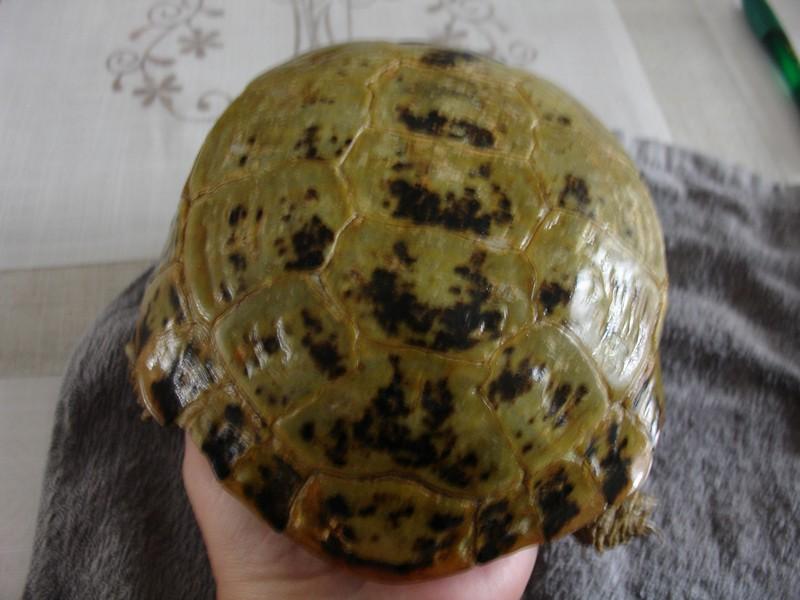 mâle, femelle et souche de la tortue des steppes Dsc04226