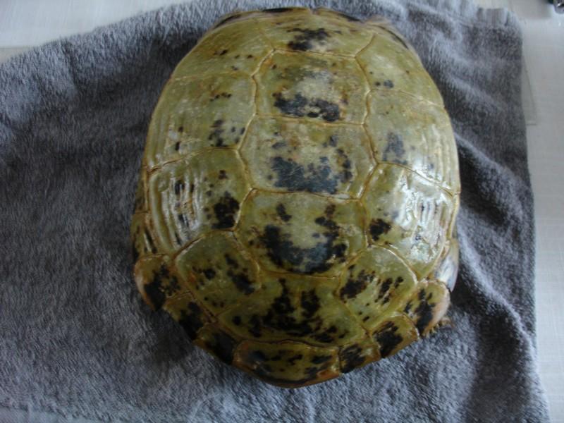 mâle, femelle et souche de la tortue des steppes Dsc04227