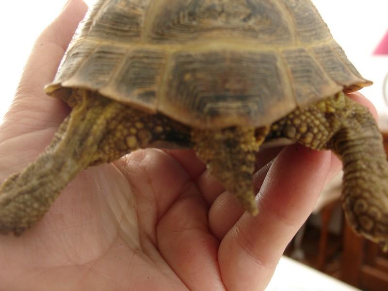 mâle, femelle et souche de la tortue des steppes Dsc04230