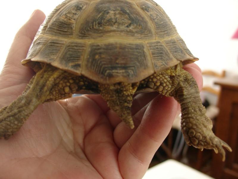 mâle, femelle et souche de la tortue des steppes Dsc04231