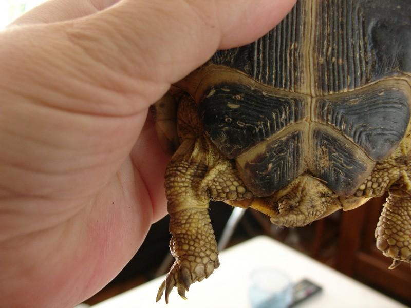 mâle, femelle et souche de la tortue des steppes Dsc04232