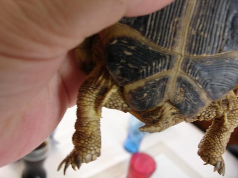 mâle, femelle et souche de la tortue des steppes Dsc04233