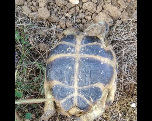 mâle, femelle et souche de la tortue des steppes Male112