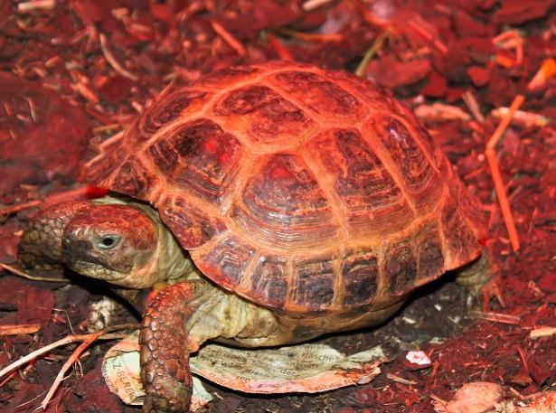 mâle et femelle Agrionemys horsfieldii  Male_h10